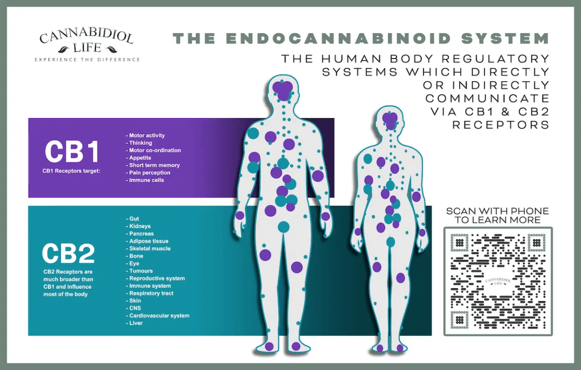 The Endocannabinoid System Regulates The Nervous System Via Cb1 &Amp; Cb2 Receptors